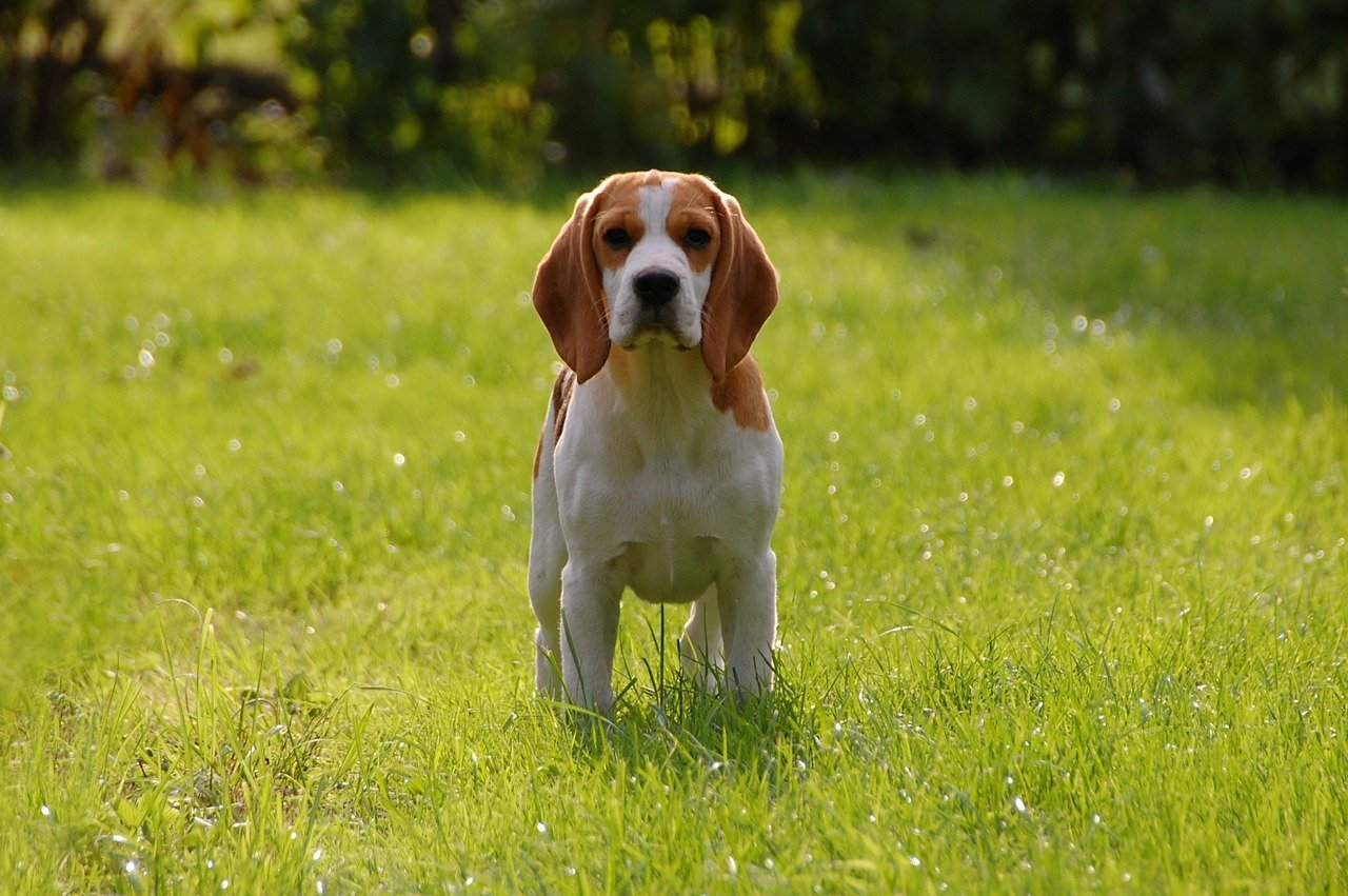 Queen Elizabeth 1 and King James 1 loved #beagles. | Animals Zone