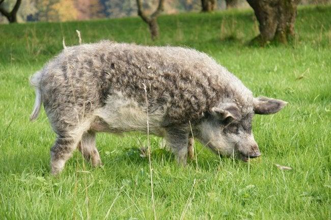 Adorable Mangalica   Animals Zone
