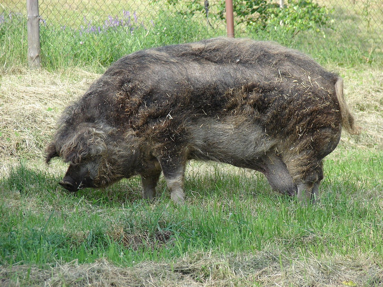 Mangalica | Animals Zone