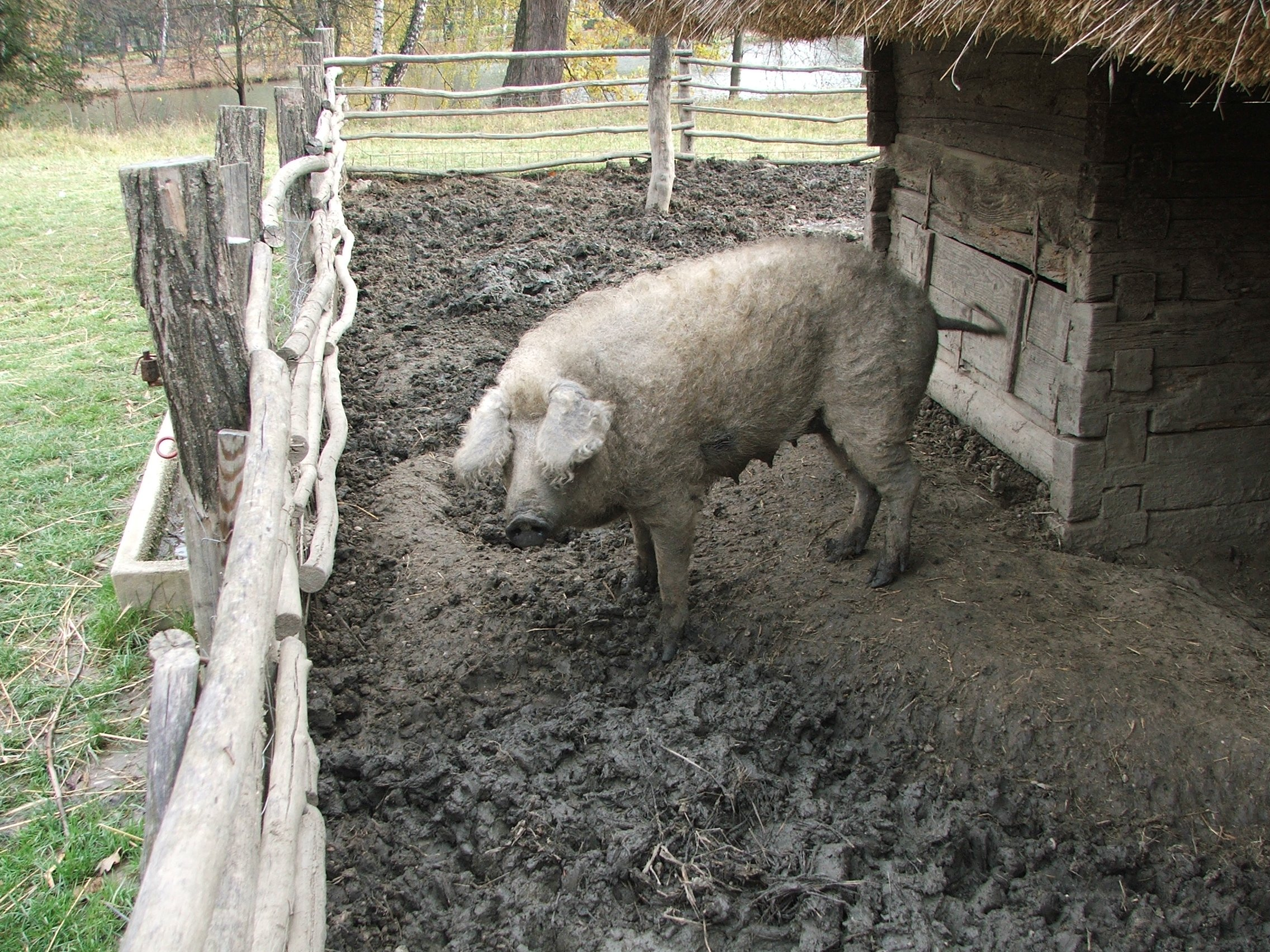 Mangalica, the Hungarian breed a domestic pig | Animals Zone