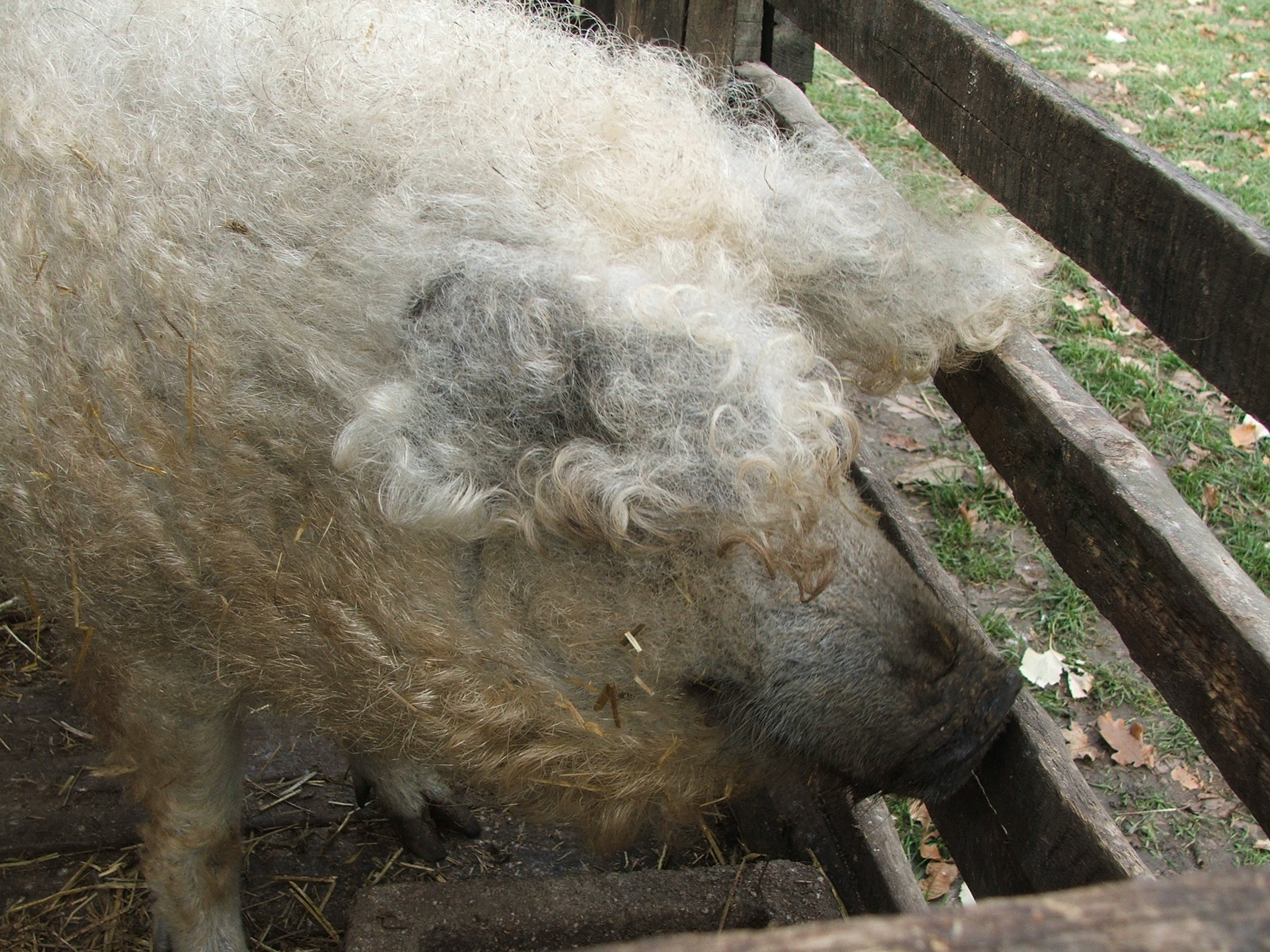 Mangalica: Sheep or Pig? | Animals Zone