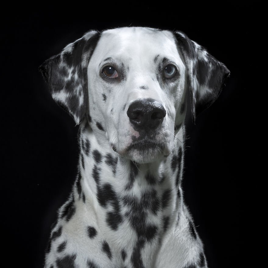 Dalmatian. Click to read the full story. | Animals Zone