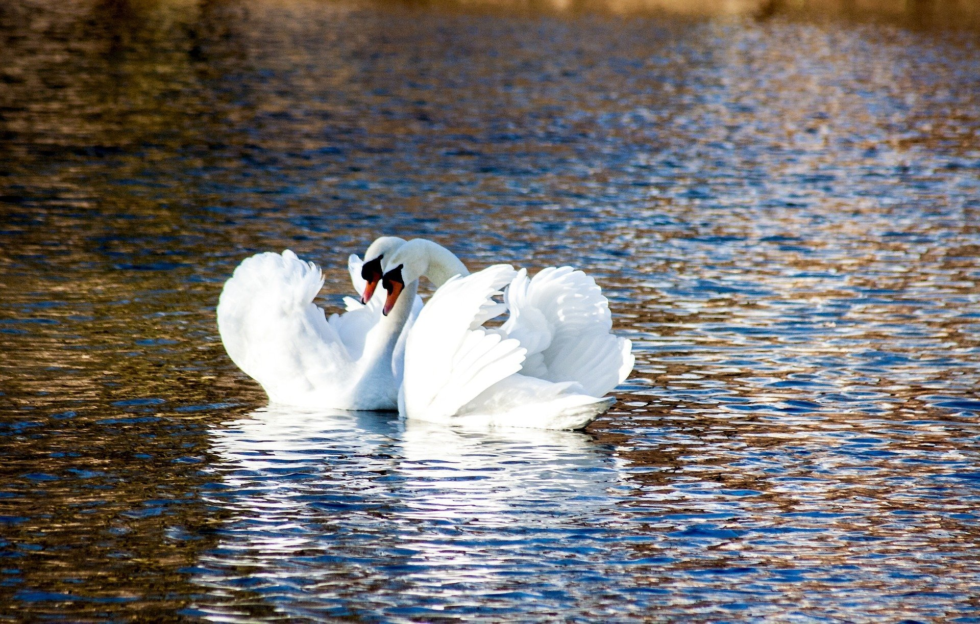 Swans. Click to see more of Adorable Animal Pictures for Valentine's Day | Animals Zone