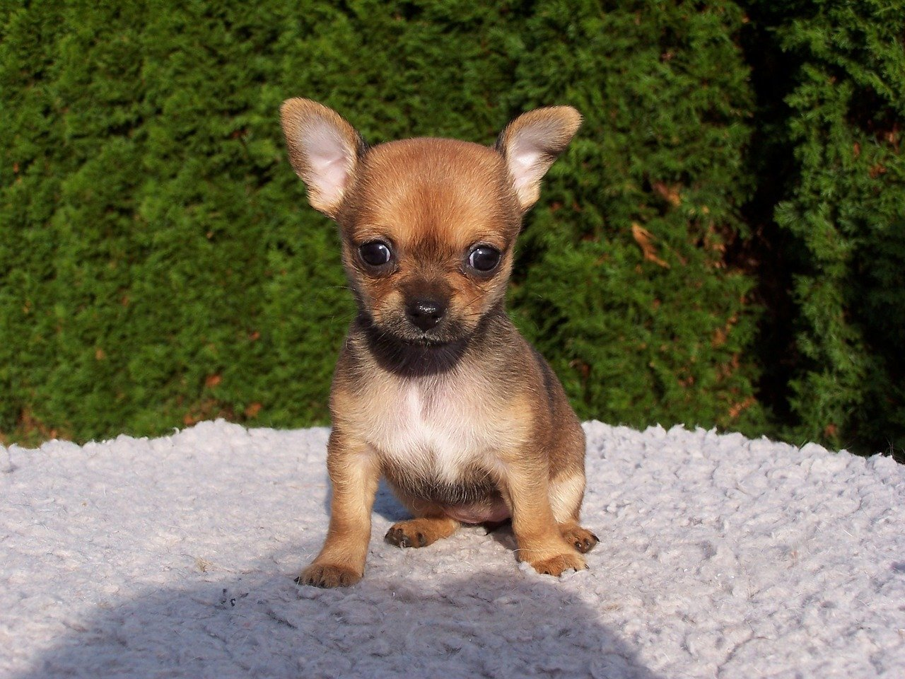 Cute Chihuahua. Happy National Puppy Day! Click for more adorable photos! | Animals Zone